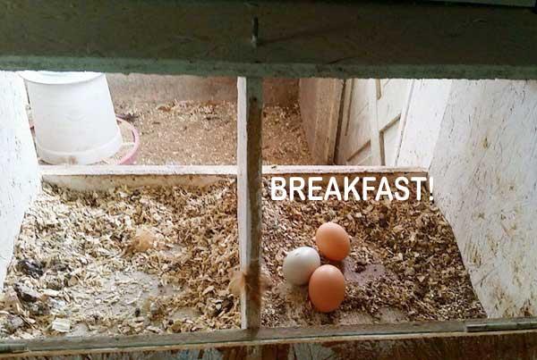 backyard chickens lay eggs breakfast